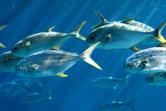 Group of pompano fish. A large school of pompano in the water Stock Photos