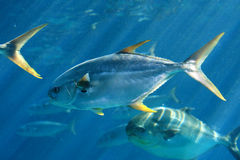 Group of pompano fish. A large school of pompano in the water Royalty Free Stock Images