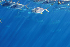 Group of pompano fish. A large school of pompano in the water Royalty Free Stock Photos