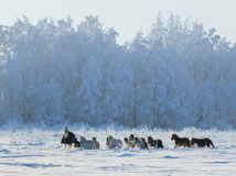 Group of ponies and miniature horses on field. Group of ponies and miniature horses on snowfield Stock Image