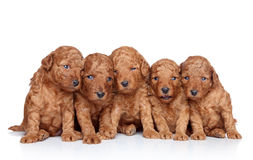 Group of a poodle Puppy (20 days) on a white Stock Photo
