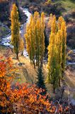 Group poplars in autumn Royalty Free Stock Images