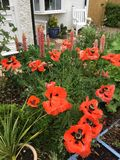 Group of poppies in a Gloucestershire garden. Red poppies in a group in a flower Stock Images