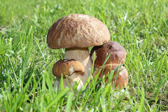 Group of porcini mushrooms Stock Image