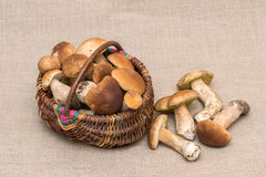 Group of porcini mushrooms on linen. Cep mushrooms in the basket. Royalty Free Stock Photography