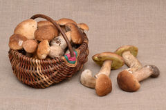 Group of porcini mushrooms on linen. The natural color. Mushroom in the basket. Royalty Free Stock Photography