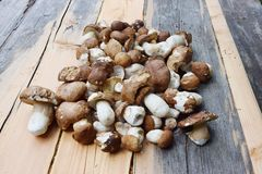 Group of porcino mushrooms Stock Photography