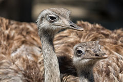 Group portrait of african ostrich close up. Selective focus Stock Image
