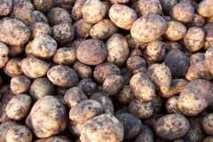 A group of potato. Cleaning the harvest potatoes in village by day Stock Photo