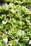 Group of Pothos Stock Image