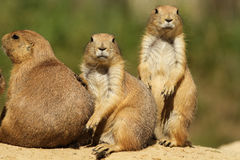 Group of prairie dogs looking at you Stock Photos