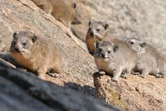Group of prairie dogs in the wild Royalty Free Stock Images