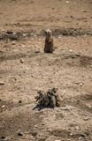 Group of prairie dogs Royalty Free Stock Image