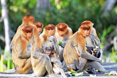 Group of Proboscis Monkeys Stock Photography