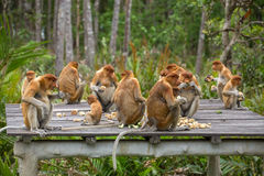 Group of Proboscis Monkeys (Nasalis larvatus) endemic of Borneo Royalty Free Stock Images