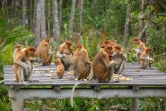 Group of Proboscis Monkeys (Nasalis larvatus) endemic of Borneo. Sitting on the feeding platform in Sarawak Royalty Free Stock Images