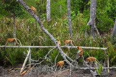 Group of Proboscis Monkeys (Nasalis larvatus) endemic of Borneo Royalty Free Stock Image