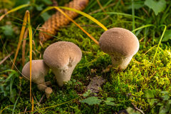 Group of puffballs mushtooms in green moss Royalty Free Stock Images