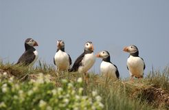 Group of Puffins Stock Photos