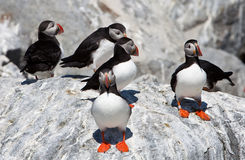 Group of Puffins Royalty Free Stock Photos