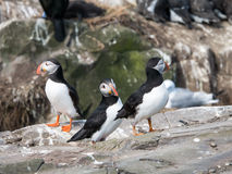 Group of Puffins on the Farne Islands Royalty Free Stock Photo