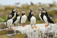 Group of puffins on a rock Stock Photos