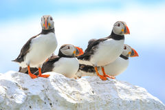 A group of puffins sat on a wall Stock Photo