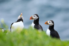 A group of Puffins standing in grass with open mouth Stock Image