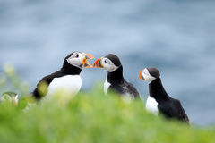 A group of Puffins standing in grass with open mouth Royalty Free Stock Photos