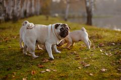 A group of pugs with a funny look sniffing in the green grass royalty free stock photos