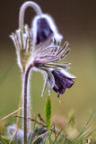 A group of Pulsatilla montana Stock Images