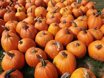 Group of pumpkins. A bunch of Orange pumpkins sitting on green grass Stock Photo