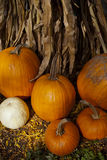 Group of Pumpkins and Cornstalk Royalty Free Stock Images