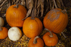 Group of Pumpkins and Cornstalk Royalty Free Stock Photos