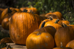 Group of pumpkins. Different size and shape pumpkins are grouped together on a wood table Royalty Free Stock Images