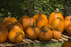 Group of pumpkins line table. Different size and shape pumpkins are grouped together on a wood table Royalty Free Stock Photo
