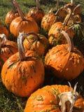 Group of Pumpkins Outdoors Stock Photos