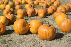A group of pumpkins in a pumpkin patch. Horizontal Stock Photography