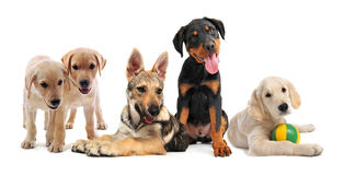 Group of puppies Royalty Free Stock Images