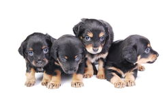 Group of Puppies. Four mongrel puppies on white background Stock Photography