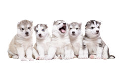 Group of puppies breed the Huskies Stock Photography