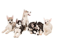 Group of puppies breed the Huskies isolated on white background. The most charismatic puppies Stock Photo