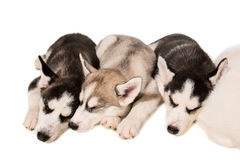 Group of puppies breed the Huskies isolated on white background Stock Photo