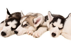 Group of puppies breed the Huskies isolated on white background Royalty Free Stock Image
