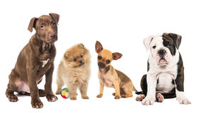 Group of puppies from different breed Stock Photography