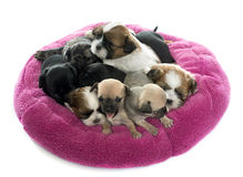 Group of puppies royalty free stock image