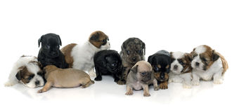 Group of puppies royalty free stock photos