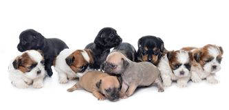 Group of puppies stock image