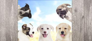Group of puppies looking Royalty Free Stock Photos