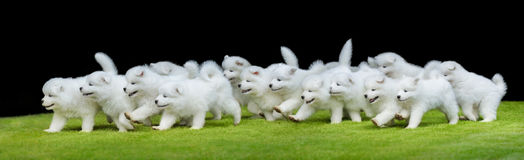 Group of puppies of Samoyed dog running on green grass. Many puppies of Samoyed dog running on green grass. Black background Royalty Free Stock Photography